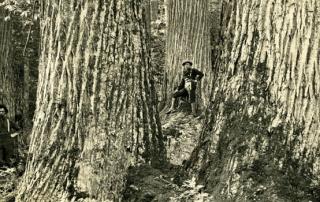 Old Growth Tree Lumberjacks